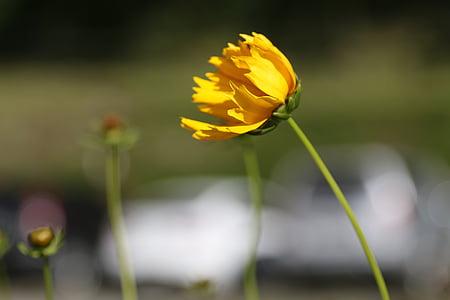 lill, kollane, vars, loodus, kollane lill, kroonleht, mesilane