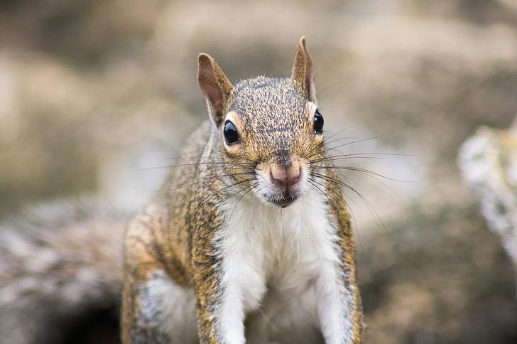 priroda, vjeverica, životinja, glodavci, vjeverica, slatka, Države