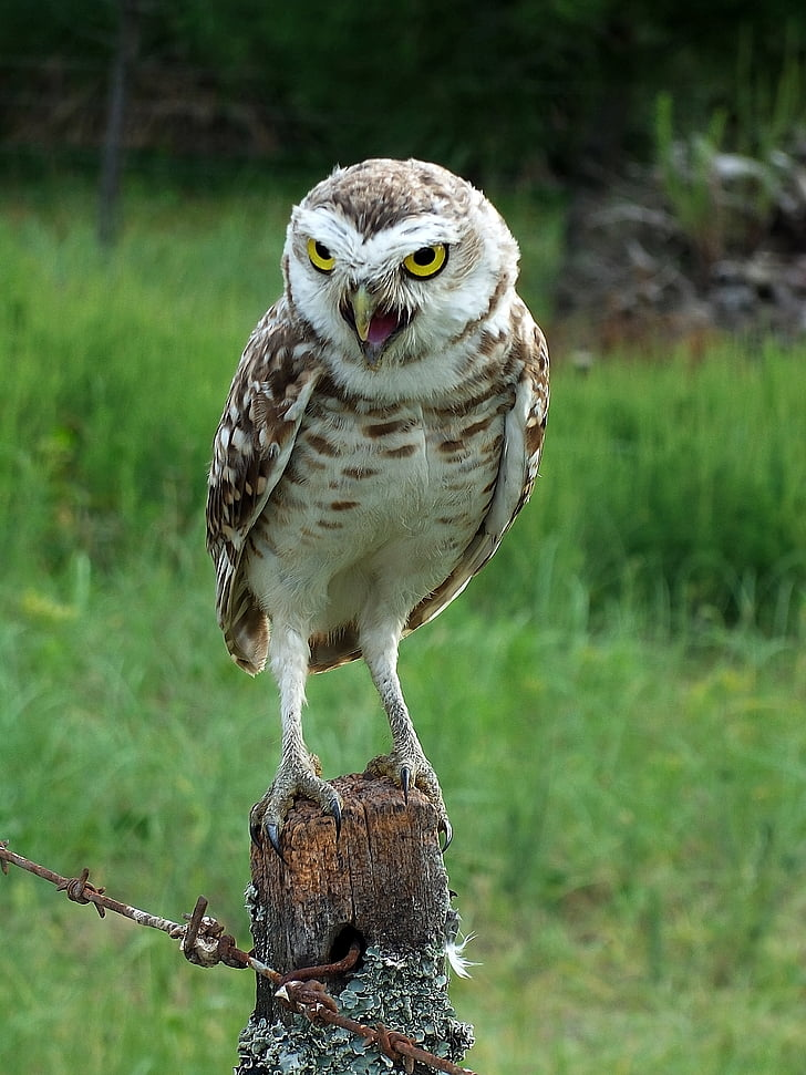 owl, ave, animal, animals, nature, peak, head