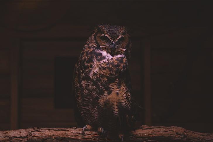 animal, bird, owl, wildlife, nature, looking, zoo
