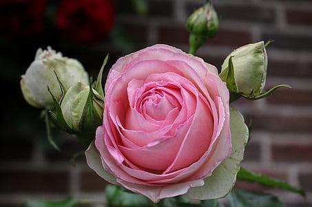 花, 上升, 玫瑰绽放, 开花, 绽放, 粉红色的玫瑰