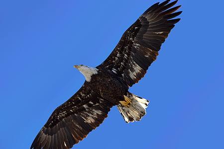 Eagle, oiseau, aile, animal, nature, plume, Flying