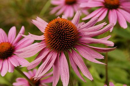 Echinacea, topi matahari, Blossom, mekar, bunga, merah muda, alam