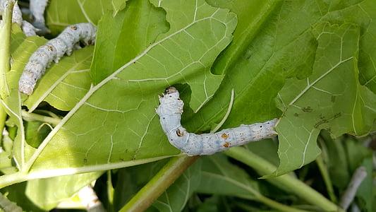 Larva, cucs de seda, Morera, insectes, plagues, insecte, natura
