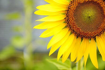 lill, päike, päevalill, Suvine lill, suvel, kollane, loodus