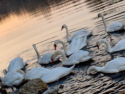 Cigne, posta de sol, l'aigua, Llac, reflexió, vida silvestre, Alba