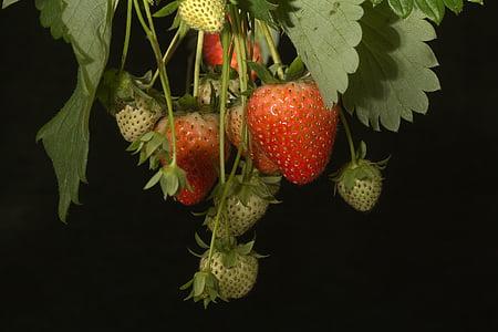 maduixes, arbust, fruites en l'arbre, fruita, fruites, vermell, tancar