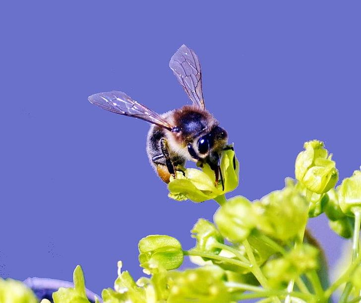 abella, insecte, tancar, natura, animal, macro, flor