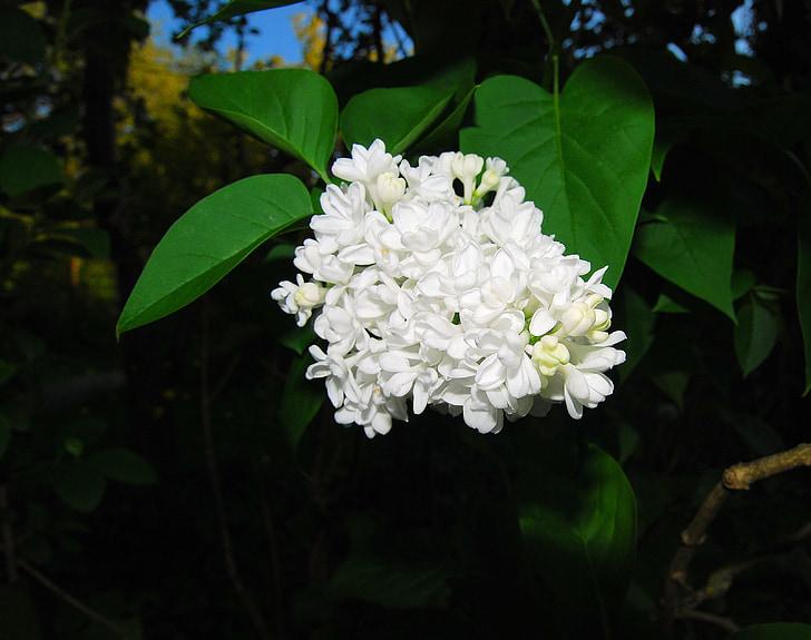 liliowy, kwiaty, biały, krzewów ozdobnych, Lilak pospolity, kwiat, Bush