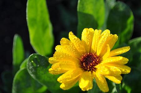 마 거리 트, 꽃, 노란색, 정원, 드랍 스, 이 슬