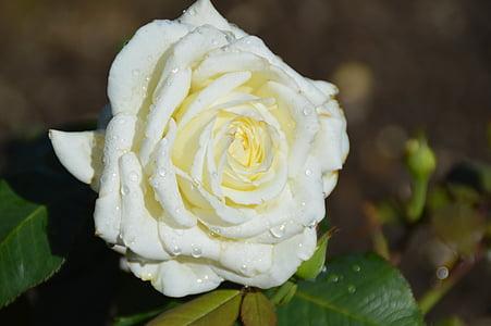 花, 上升, 玫瑰绽放, 玫瑰之路, 自然, 开花, 绽放