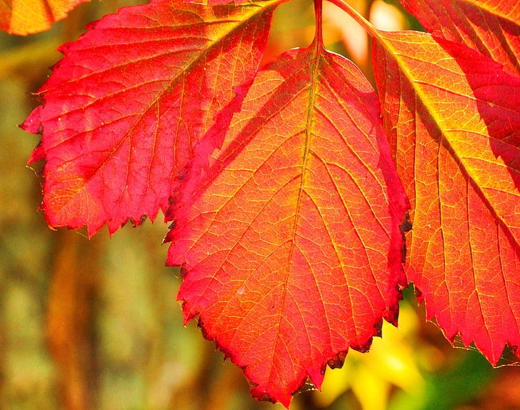 rudens, Leaf, daba, sezonas, koks, sarkana, dzeltena