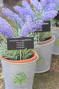 lavendel, blomst, Herb, naturlig, anlegget, lilla, blomster