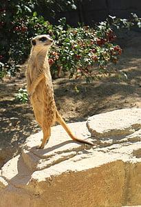 Meerkat, Zoo, Wilhelma, looma, imetaja, Wildlife, loodus