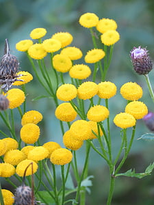 tansy, yellow, flower, summer, filipendula ulmaria, plant, fragility