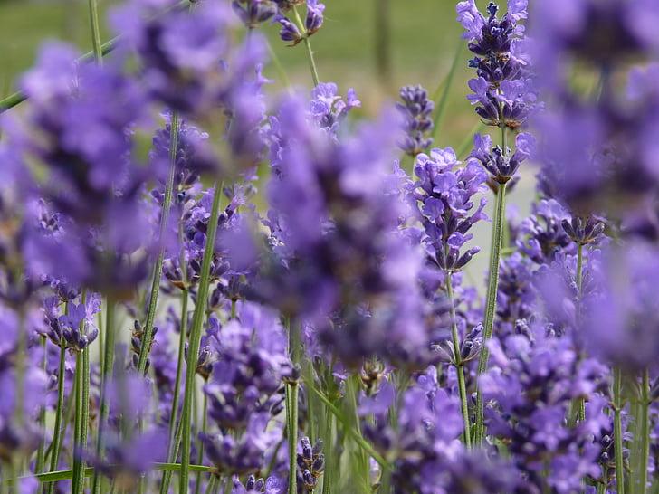 лавандула, цветя, аромати, лято, поле, Вайълет, природата