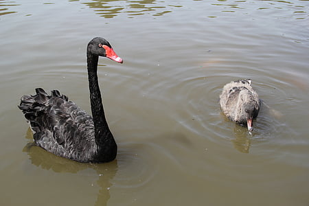 black swan, park, leisure