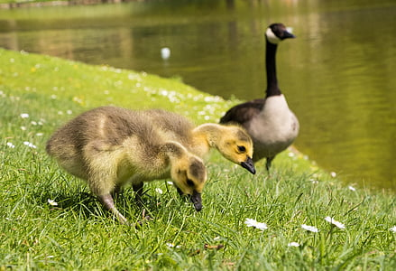 Poikaset, Poikaset, Kanadan hanhet, hanhi, lintu, Luonto, eläinkunnan