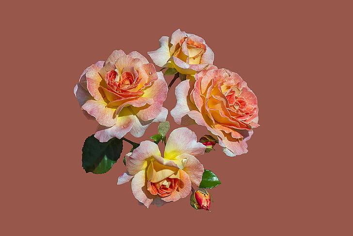 Bad kissingen, jardin de roses, fleur rose, fermer, roses, floribunda limes bijou, fleur