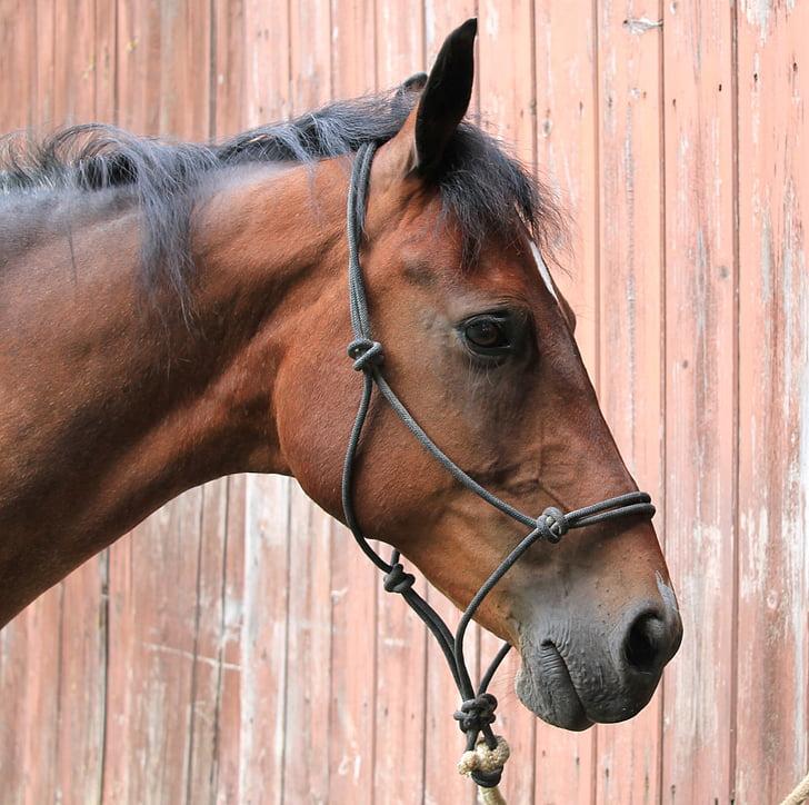 halter, rope halter, horse, head, mare, beautiful, pretty