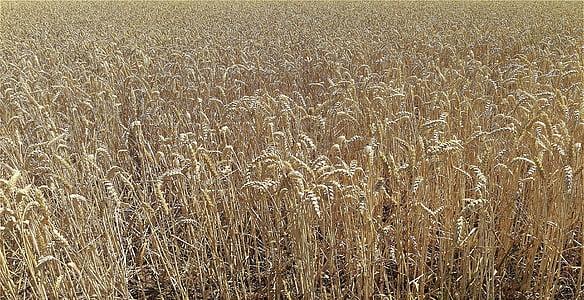 camp, cereals, l'agricultura, natura, cultius de camp, camp de blat