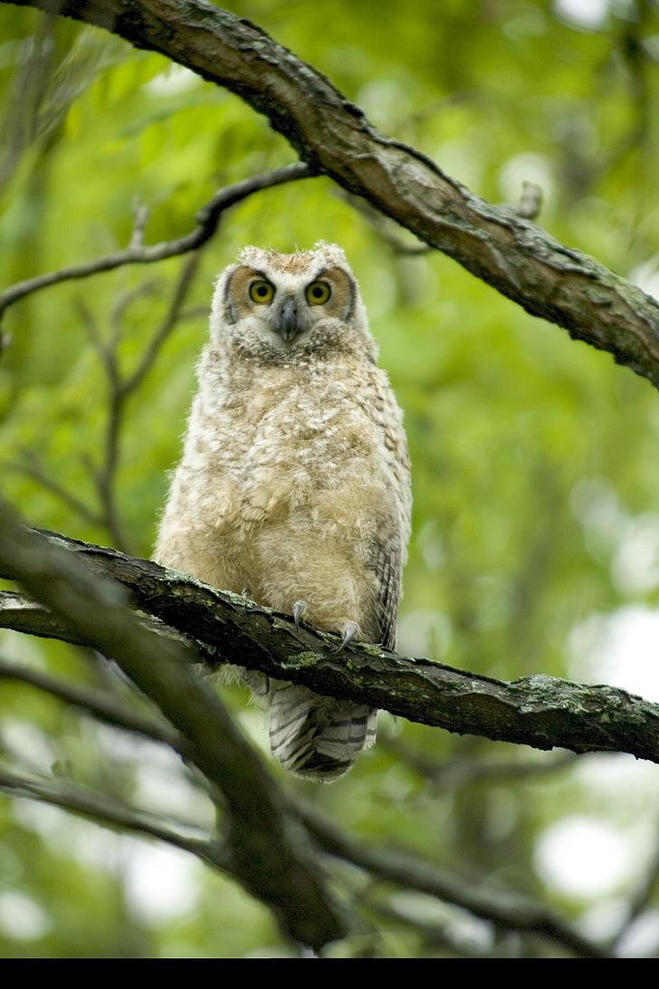 Baby horned owl photo M : Ohuhu Horned Owl Decoy with Tweet