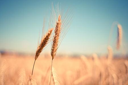 nisu, kõrva, kuiv, saagi, Sügis, suvel, teravilja