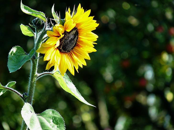 Цветок солнца, Семена подсолнечника, Масло подсолнечное, подсолнечник