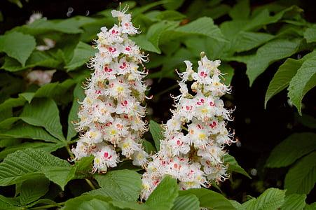 kastan, puu, lill, õis, Bloom, Aesculus, loodus