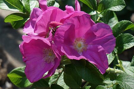 Rosa, Rosa rugosa amb brots, brot, flor, flor, flor, fulles