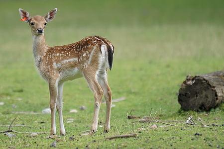Metsäkauris, fawn, Hirsch, nuori, nisäkäs, Dama, dama, Wildlife