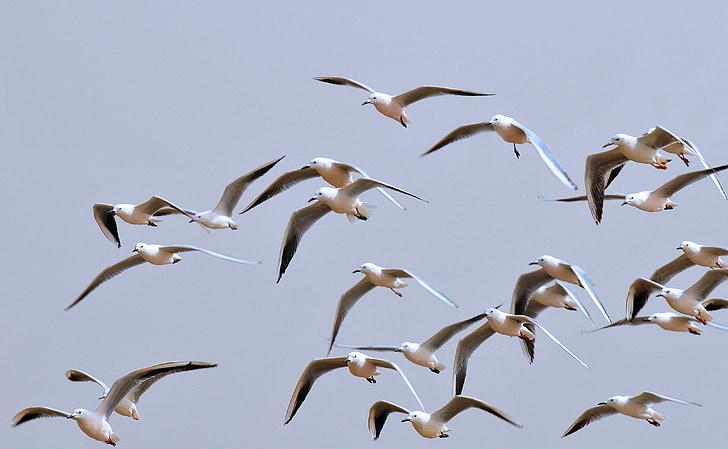 птици, чайки, Птичият полет, небе, природата, морска птица, животните