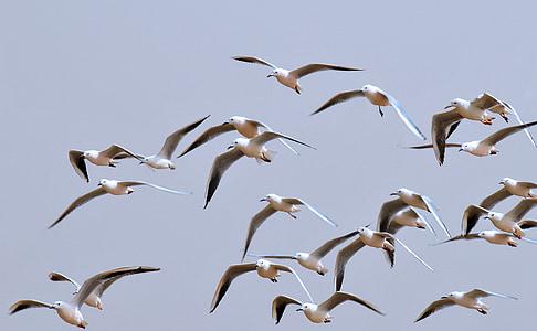 ocells, gavines, vol dels ocells, cel, natura, ocell de mar, animal