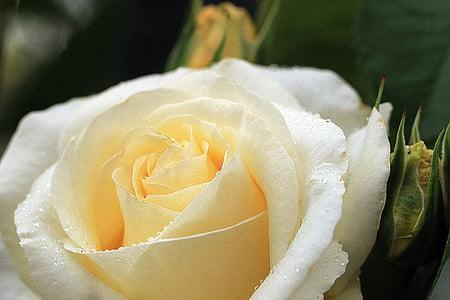 Rosa, rosa groga, flor rosa, pètals de Rosa, te de Rosa, Rosa, flor