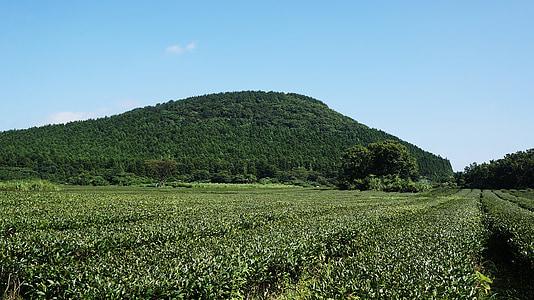 Jeju, groene thee, thee, boerderij, natuur, groen, landschap