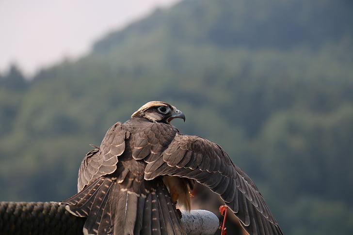 falcon, bird, raptor, animal, nature, wildlife photography, falconry