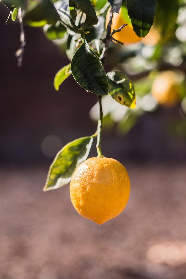 llimona, fruita, arbre, diürna, llimones, arbres, fruites