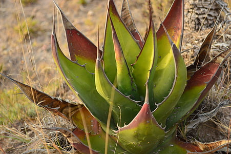 Aloe, sábila, priroda, list, kaktus, biljka, sočan biljka