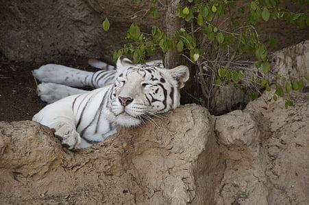 tiger, white tiger, king tiger, predator, cat, wildcat, big cat