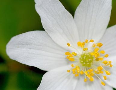 vetrnica, bela, gozd, pomlad, cvet, cvet, cvetje