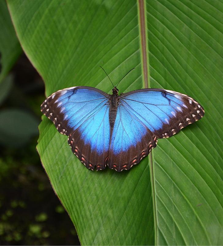 papallona, tropical, blau, brillant, casa de la papallona, casa tropical, papallones