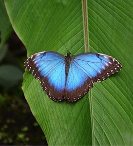 perhonen, Tropical, sininen, kirkas, Butterfly house, trooppinen talo, Perhoset