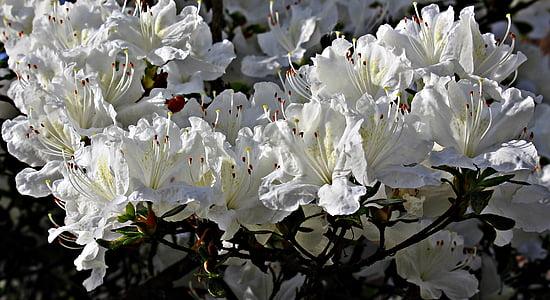 neret, flors, blanc, flor blanca, primavera, esplendor blanc, tancar