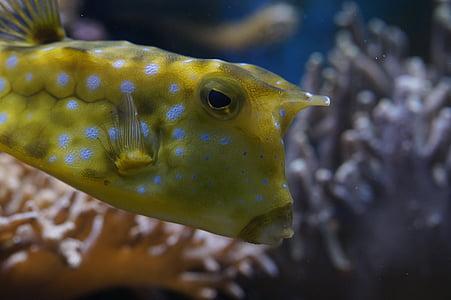 boxfish, tancar, sota l'aigua, nedar, peix, animal, l'aigua
