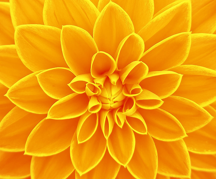 цвете, светъл, жълто, фон, природата, венчелистче, фонове