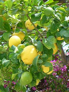 citrons, bush de citron, jaune, fruits, plante, nature, en bonne santé