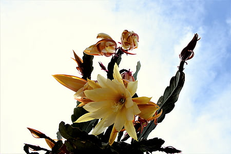 cactus, cactus flowers, blossom, bloom, flowers, cactus flower, sky