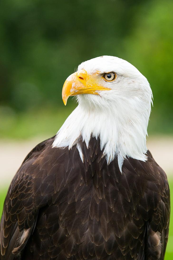Адлер, орел обсерватория, бяла опашка орел, орли, чакащи в detmold, перушина, Гербът на птица, животински портрет