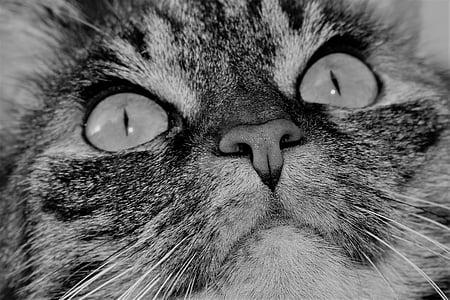 pisica, animal de casă, animale, pisica tigru, pisici domestice, ochii pisica, mustaţă