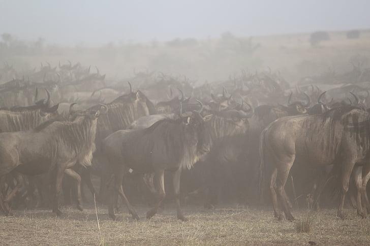 suuri muuttoliike, Afrikka, Safari, Serengeti, gnuu, maahanmuutto, eläinten